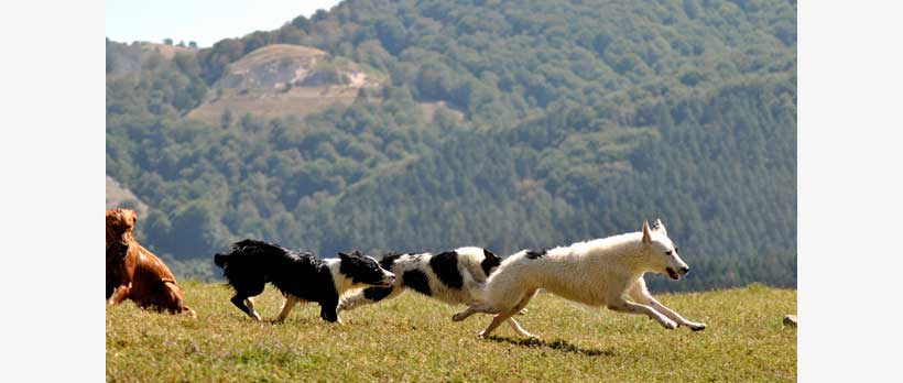 cani che corrono il libertà