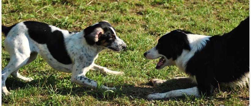 cani in posizione gioco